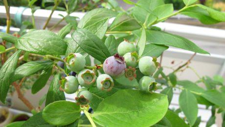 Gazdagítsa otthonát egészséges balkon gyümölcsökkel!